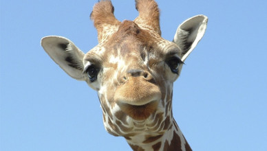 A polêmica das girafas diabólicas