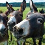 Ser ou não ser mula… eis a questão!